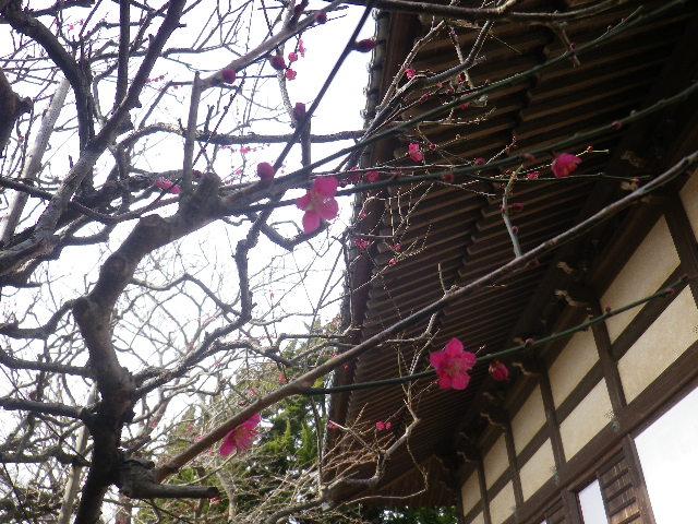 05-3)    17.02.18 鎌倉「宝戎寺」 休養期間と信じ、枝垂れ梅老大木の復活を願う。