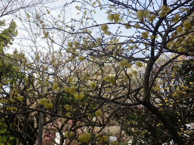 06-1)    17.02.18 鎌倉「宝戎寺」 休養期間と信じ、枝垂れ梅老大木の復活を願う。