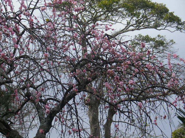 03-2)    17.02.22 鎌倉「安国論寺」 枝先に咲く梅の繊細さが際立つ頃