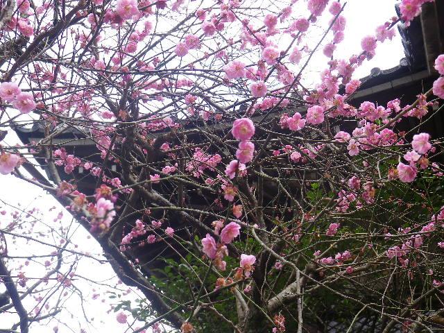 04-3)   17.02.22 鎌倉「安国論寺」 枝先に咲く梅の繊細さが際立つ頃