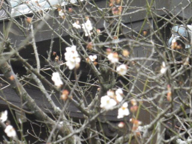09-3)   17.02.22 鎌倉「安国論寺」 枝先に咲く梅の繊細さが際立つ頃