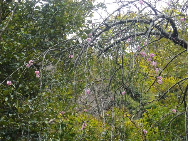 10-2) 鎌倉「安国論寺」 枝先に咲く梅の繊細さが際立つ頃
