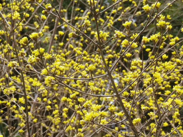 11-2) 鎌倉「安国論寺」 枝先に咲く梅の繊細さが際立つ頃