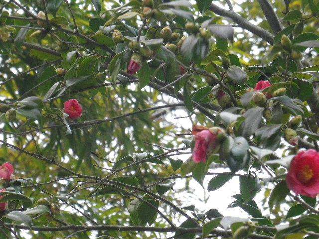 12-2) 鎌倉「安国論寺」 枝先に咲く梅の繊細さが際立つ頃