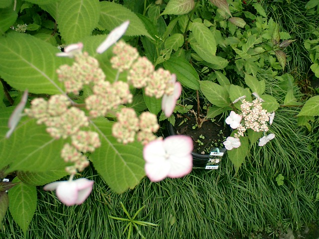 04-2_06.06.12鎌倉長谷「光則寺」紫陽花の季節