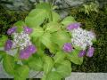 03-2_06.06.12鎌倉長谷「光則寺」紫陽花の季節