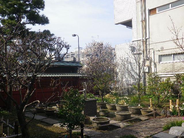 29) 中央奥の早咲き種の桜を撮ったつもり。外の歩道からズームで撮るつもりが、板塀で阻まれた・・・ _ 17.03.25 日蓮宗系単立寺院 長慶山 大巧寺(だいぎょうじ)