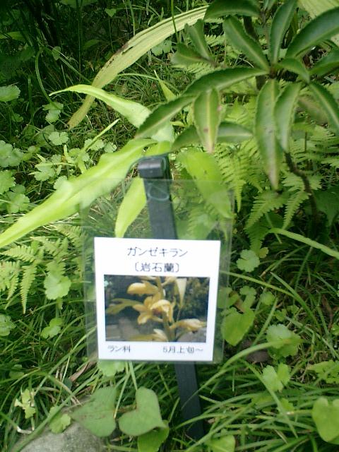 30-1) 「岩石蘭」<紫陽花以外>
