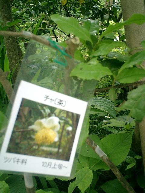 31-1) 「茶」<紫陽花以外>