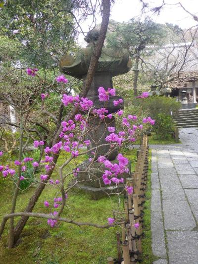 05)  17.03.30 鎌倉「安国論寺」 細身ながらも高木の古い桜が咲き揃った頃