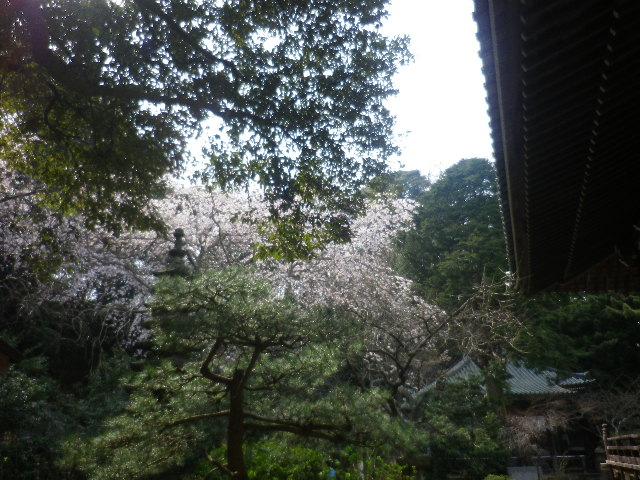 08-1)  17.03.30 鎌倉「安国論寺」 細身ながらも高木の古い桜が咲き揃った頃