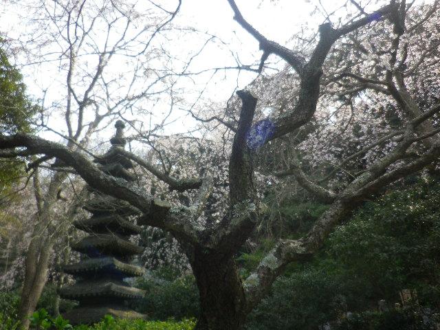 08-2)  17.03.30 鎌倉「安国論寺」 細身ながらも高木の古い桜が咲き揃った頃