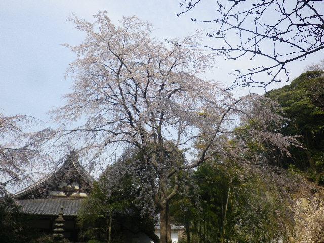 09-2)  17.03.30 鎌倉「安国論寺」 細身ながらも高木の古い桜が咲き揃った頃