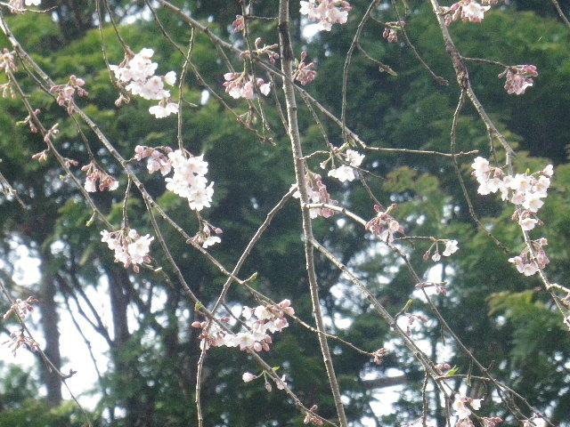 09-3b)  17.03.30 鎌倉「安国論寺」 細身ながらも高木の古い桜が咲き揃った頃