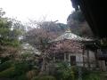 04-1)   17.03.30 鎌倉「長勝寺」 桜が開花し始めた頃