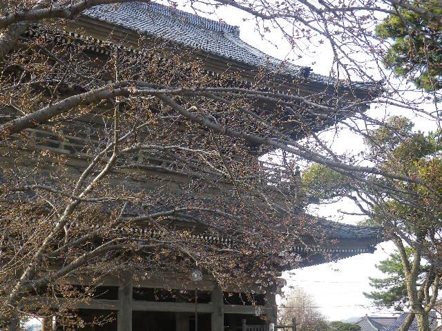 02)    17.03.30 鎌倉「光明寺」 山門周辺の桜