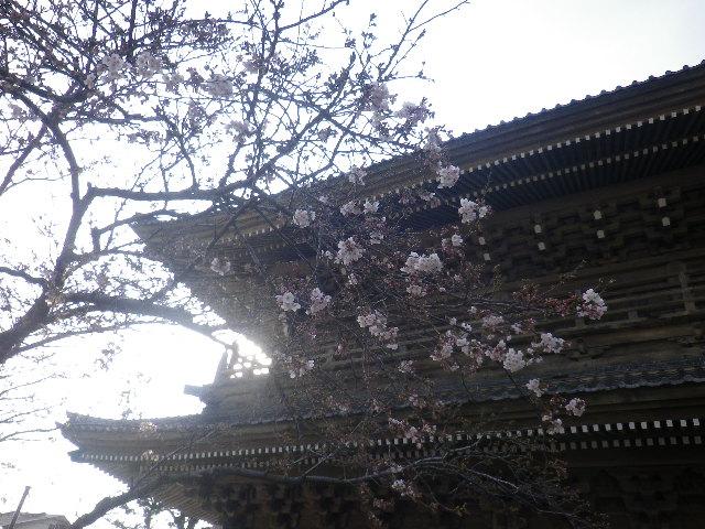 03)    17.03.30 鎌倉「光明寺」 山門周辺の桜