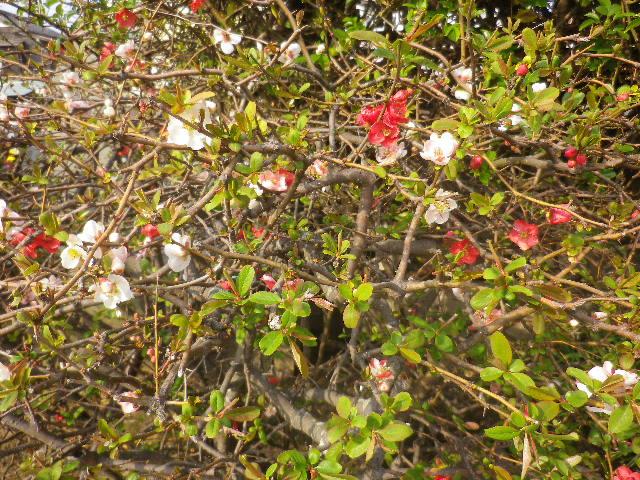 01-2)   17.03.30 鎌倉「九品寺」 未だかナ?まだかな?っと思っていたら、奥で咲き揃っていた木瓜。