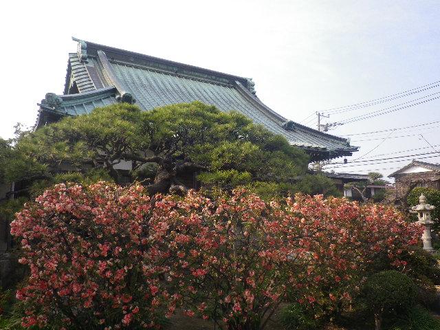 02-1)   17.03.30 鎌倉「九品寺」 未だかナ?まだかな?っと思っていたら、奥で咲き揃っていた木瓜。