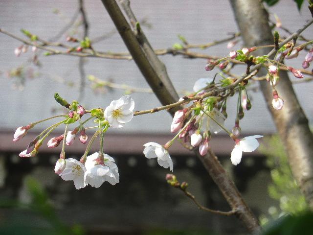 03-2)    17.03.30 鎌倉「教恩寺」 アノ?桜開花を偵察