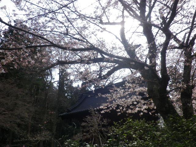 05) ' 日蓮聖人像 ' 周辺の桜    17.04.02 鎌倉「妙本寺」の桜