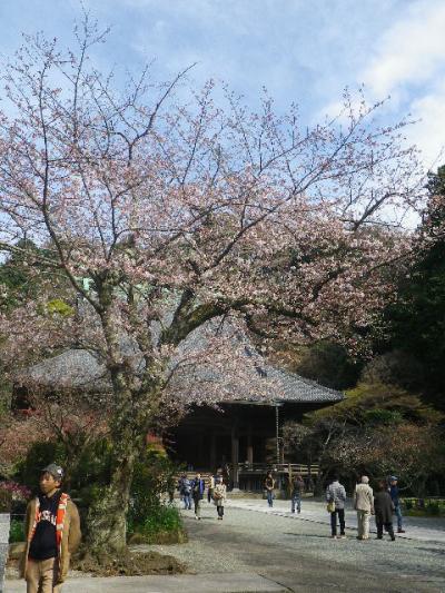 07-1)  ' 宝物庫 ' 周辺桜   17.04.02 鎌倉「妙本寺」の桜