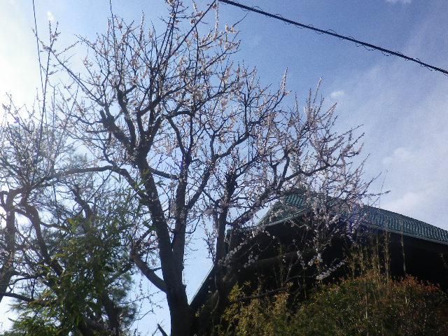 01-2)    17.04.02 鎌倉「本覚寺」の桜