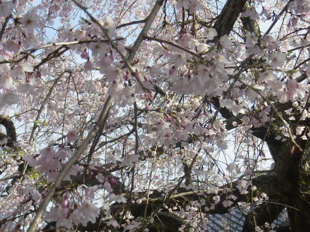03-4)    17.04.02 鎌倉「本覚寺」の桜