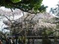 03-3)    17.04.02 鎌倉「本覚寺」の桜