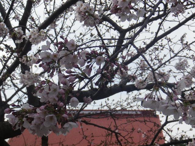 01-2)   17.04.02 鎌倉「向福寺」の桜
