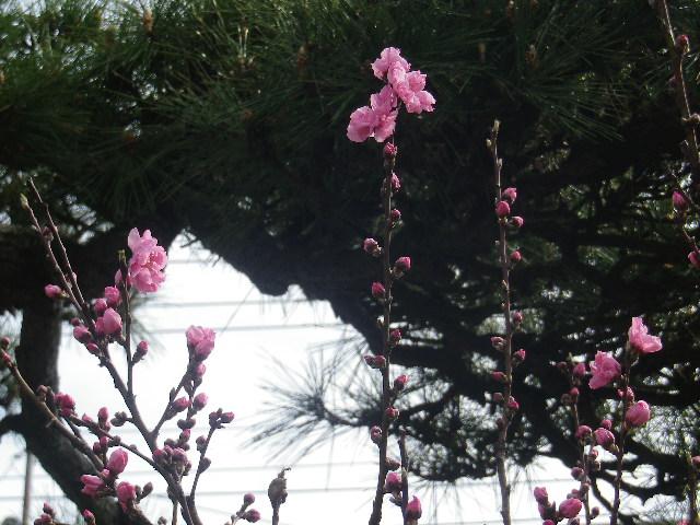02-2)   17.04.02 鎌倉「向福寺」の桜