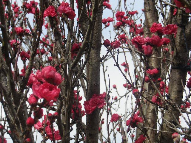 03-2)   17.04.02 鎌倉「向福寺」の桜