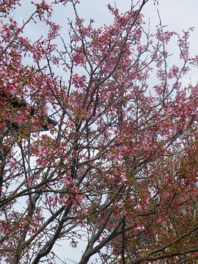 04-1)   17.04.02 鎌倉「向福寺」の桜