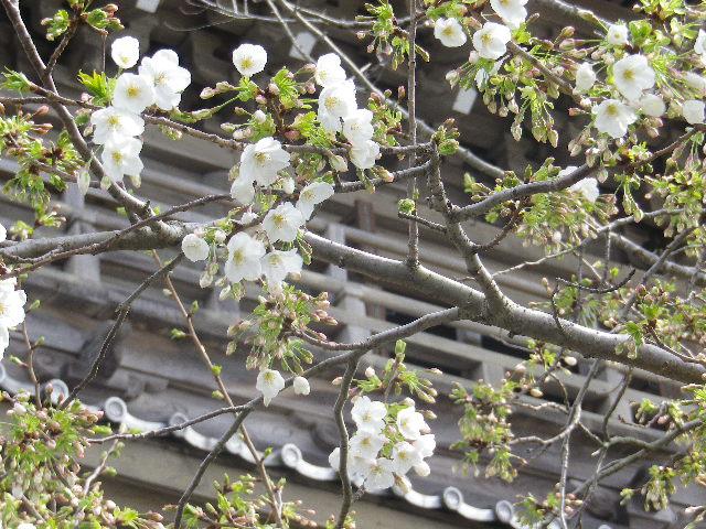 02-2)   17.04.02 鎌倉「光明寺」の桜
