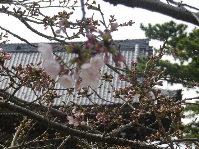 05-2)   17.04.02 鎌倉「光明寺」の桜
