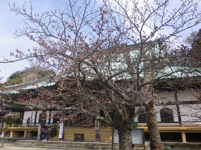06-1)   17.04.02 鎌倉「光明寺」の桜