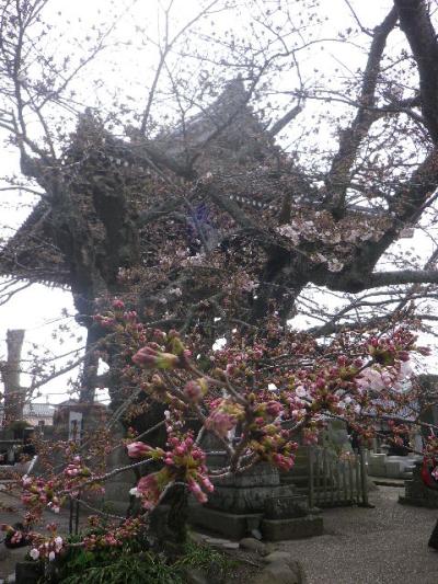 16-1)   17.04.02 鎌倉「光明寺」の桜