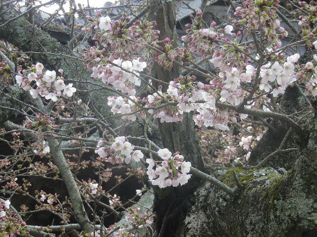 18)   17.04.02 鎌倉「光明寺」の桜