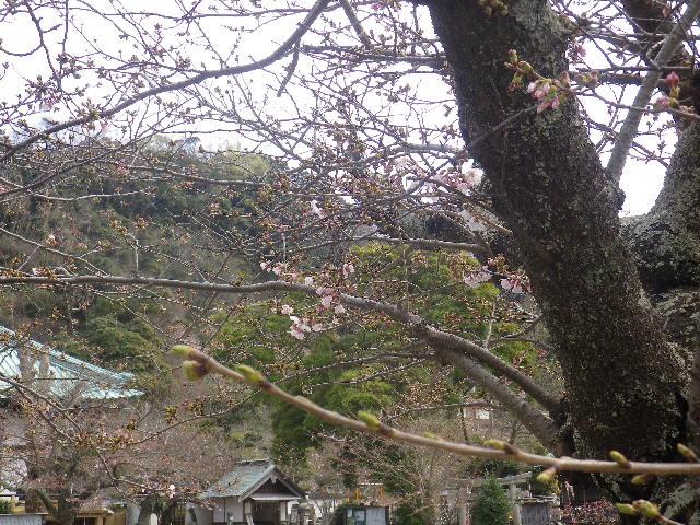 19-1)   17.04.02 鎌倉「光明寺」の桜