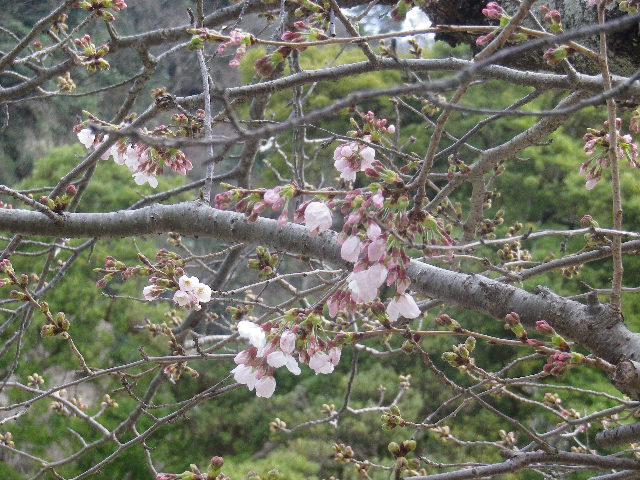 19-2)   17.04.02 鎌倉「光明寺」の桜