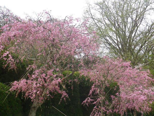 01-2) 山門手前駐車場から、左上の墓地方向。枝垂れ桜  _ 17.04.10 鎌倉「長勝寺」 の桜