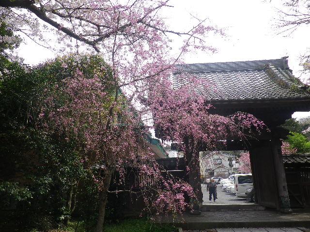 04-1) 山門を潜って直ぐの枝垂れ桜 _ 17.04.10 鎌倉「長勝寺」 の桜