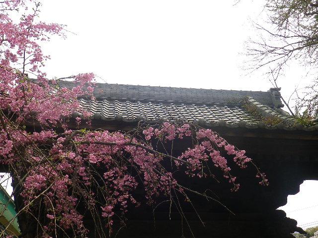 04-2) 山門を潜って直ぐの枝垂れ桜  _ 17.04.10 鎌倉「長勝寺」 の桜