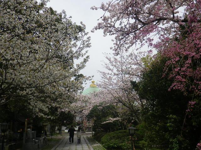 05-1)参道から本堂方向 _ 17.04.10 鎌倉「長勝寺」 の桜