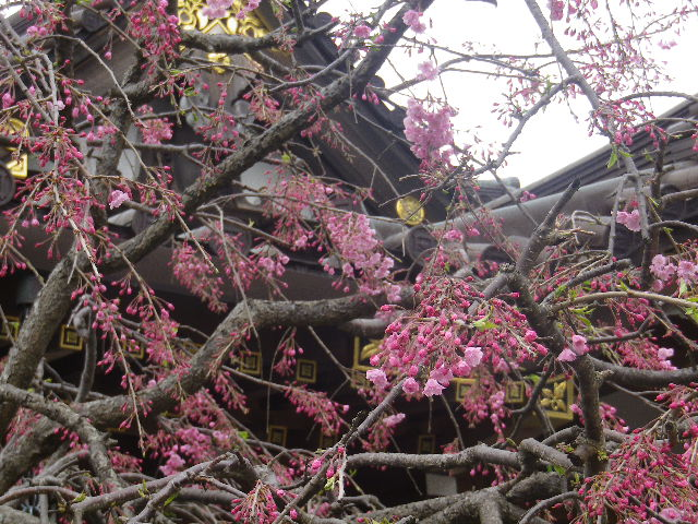 06-3)   17.04.10 鎌倉「妙隆寺」の桜