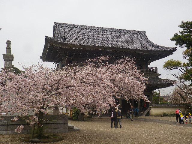05)    17.04.10 鎌倉「光明寺」の桜