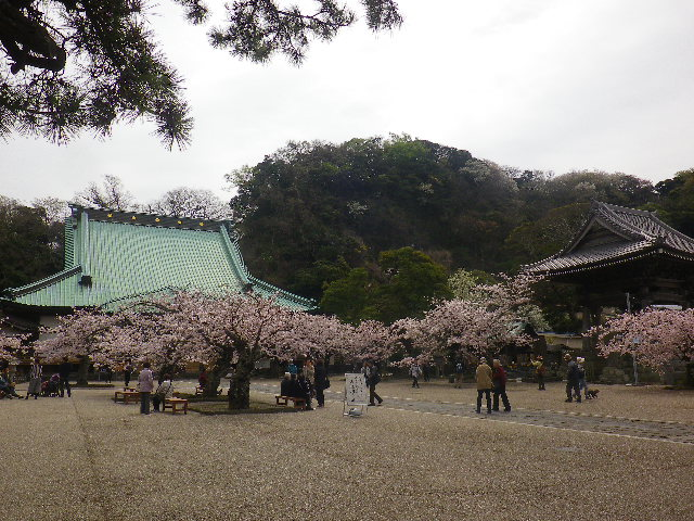 06)    17.04.10 鎌倉「光明寺」の桜