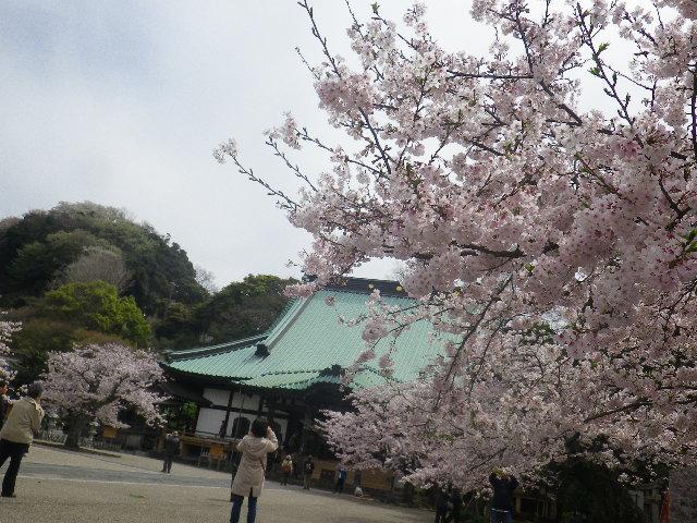 07)    17.04.10 鎌倉「光明寺」の桜