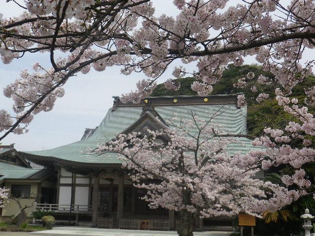 12)    17.04.10 鎌倉「光明寺」の桜