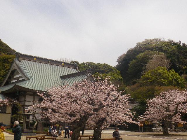13)    17.04.10 鎌倉「光明寺」の桜